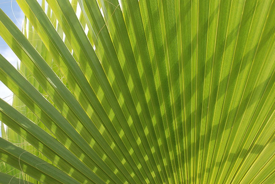 Green Photograph - Palm Fingers by Dallas Hyatt