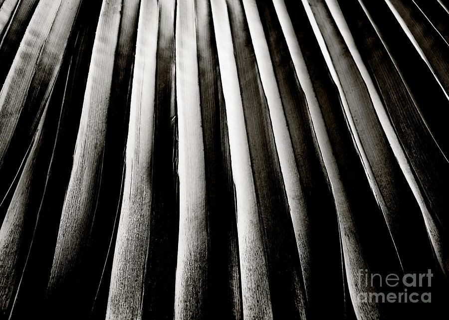 Palm Frond Photograph