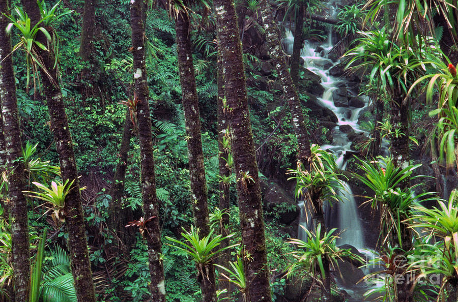 Palm Trunks And Waterfall El Yunque Photograph