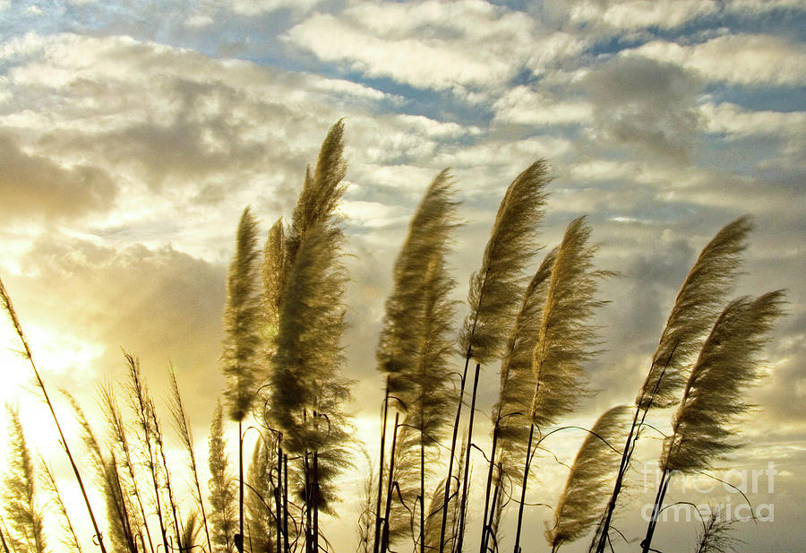 Pampas Grass Photograph by Julia Hiebaum