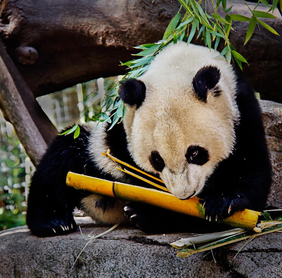 Animals Photograph - Panda Bear by Robert Bales