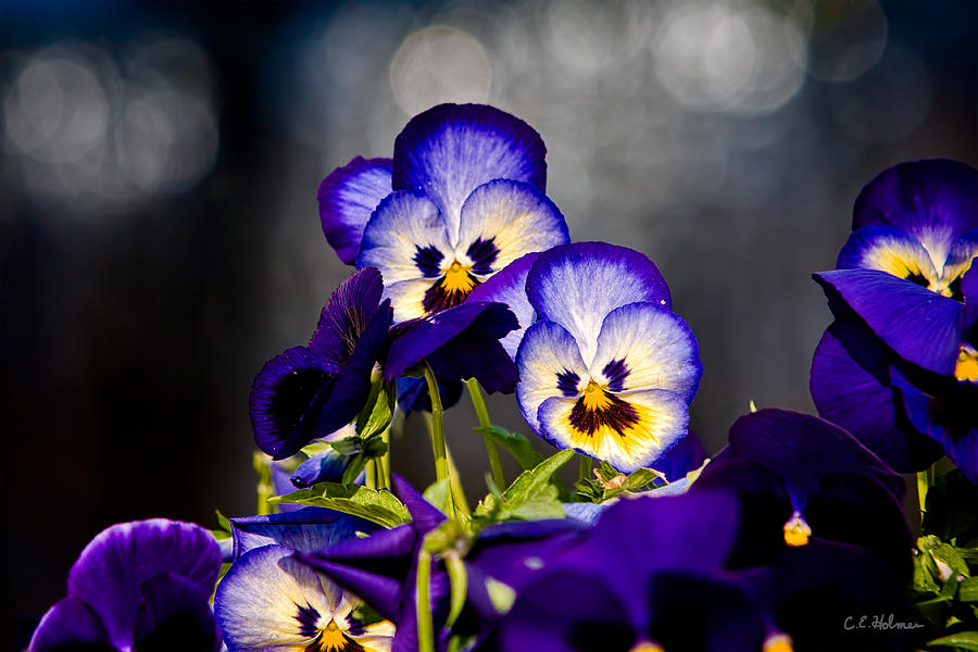 Flowers Photograph - Pansies by Christopher Holmes