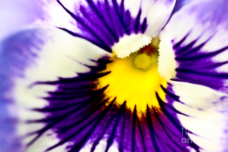 Pansy Violets Photograph