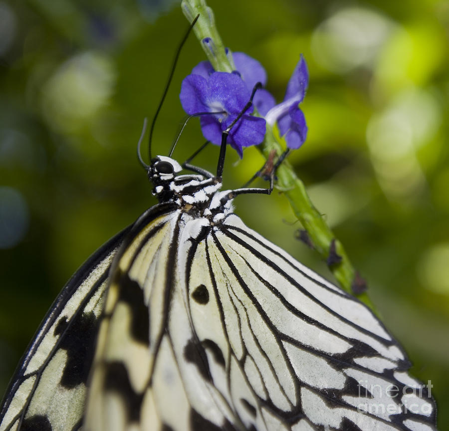 Paper Kite Butterfly Photograph - Paper Kite Butterfly by Heather Applegate