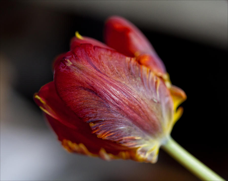 Flower Photograph - Parrot Tulips 13 by Robert Ullmann