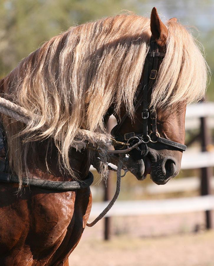 Horse Pyrography - Paso Fino Stallion by Wendi Matson