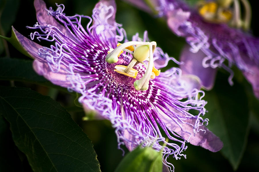 Flower Photograph - Passiflora by Mike McMurray