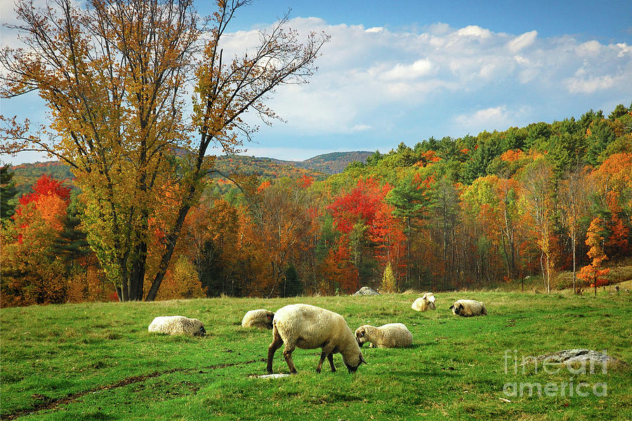 New England Fall Photograph - Pasture - New England Fall Landscape Sheep by Jon Holiday