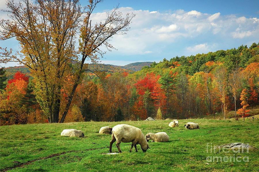Pasture - New England Fall Landscape Sheep Photograph