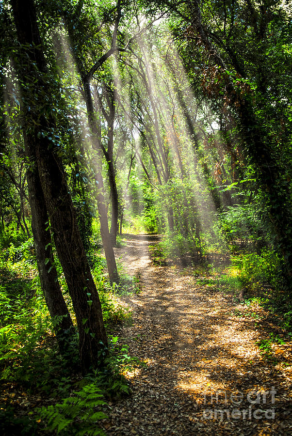 Forest Photograph - Path In Sunlit Forest by Elena Elisseeva