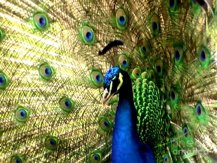 Bird Pyrography - Peacock by Toon De Zwart