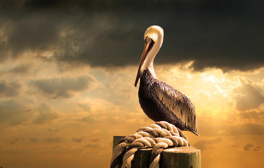 Pelican After A Storm Photograph