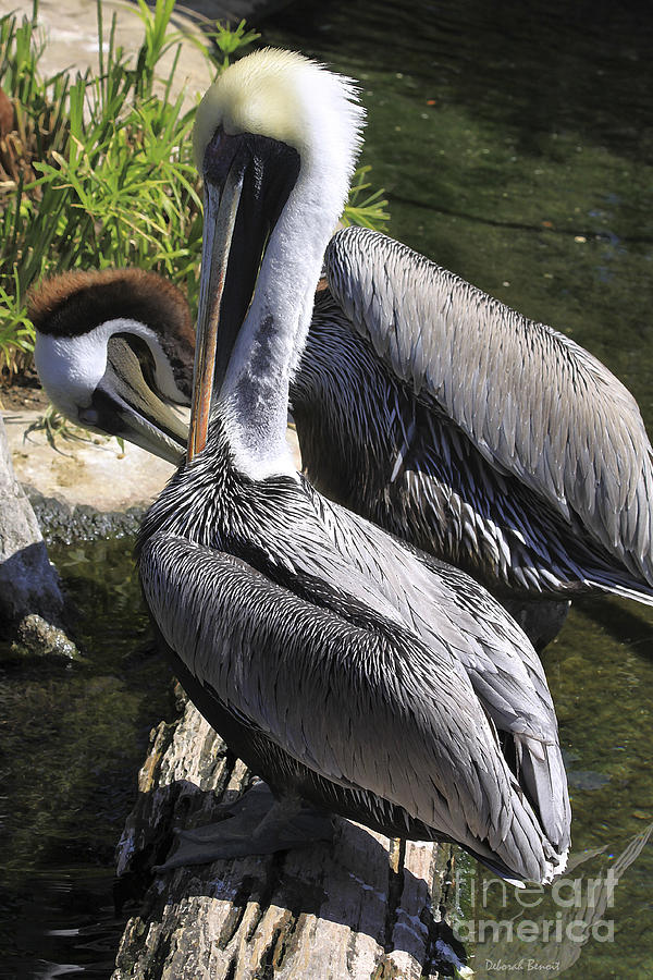Birds Photograph - Pelican Duo by Deborah Benoit