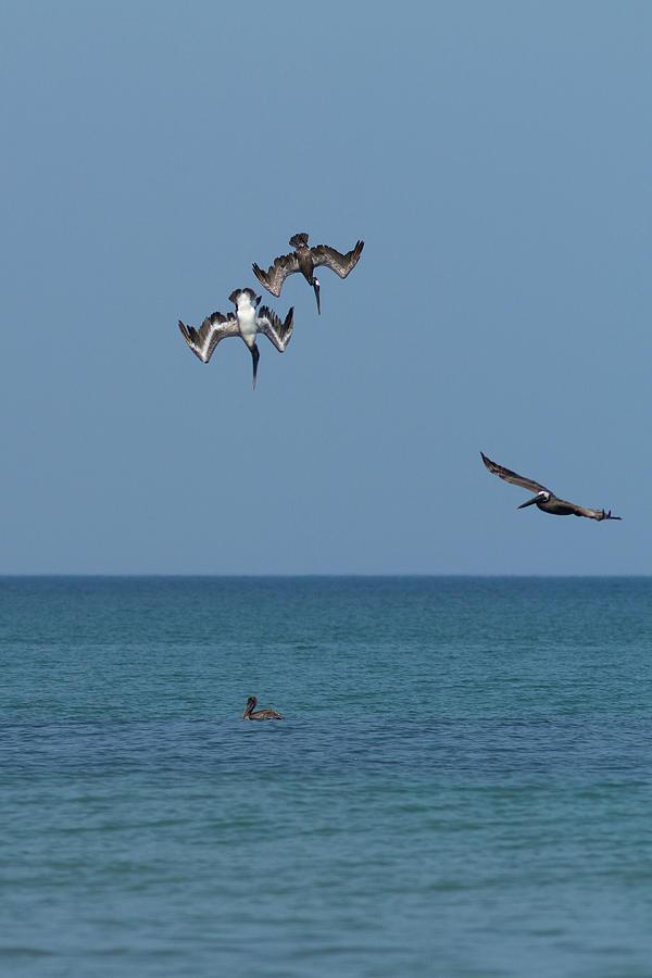 Pelicans Diving Photograph