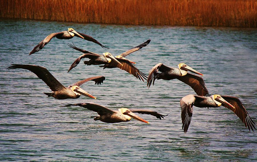 Pelican Photograph - Pelicans Flying Through The Marsh by Paulette Thomas
