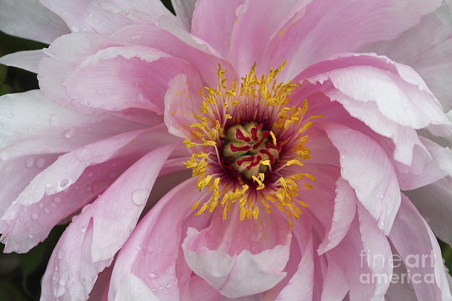 Peonie In Pink Photograph