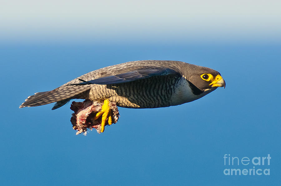 Peregrine Falcon Photograph - Peregrine Falcon 2 by Michael  Nau