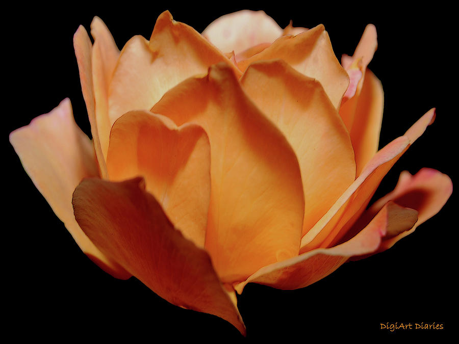 Rose Digital Art - Petals Of Orange Sorbet by DigiArt Diaries by Vicky B Fuller