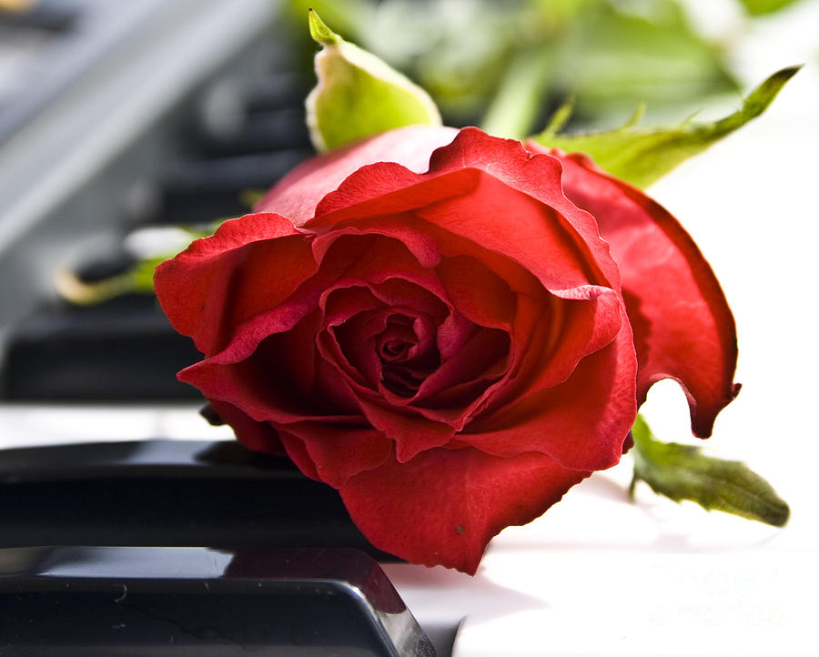 Piano Photograph - Piano Rose by Sophie De Roumanie