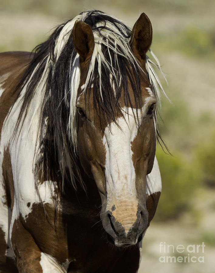 Mustangs Photograph - Picasso Comes Close by Carol Walker