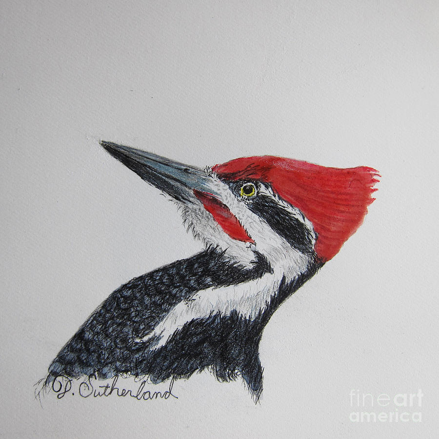 Pileated Woodpecker Drawing Pileated Woodpecker Paintings