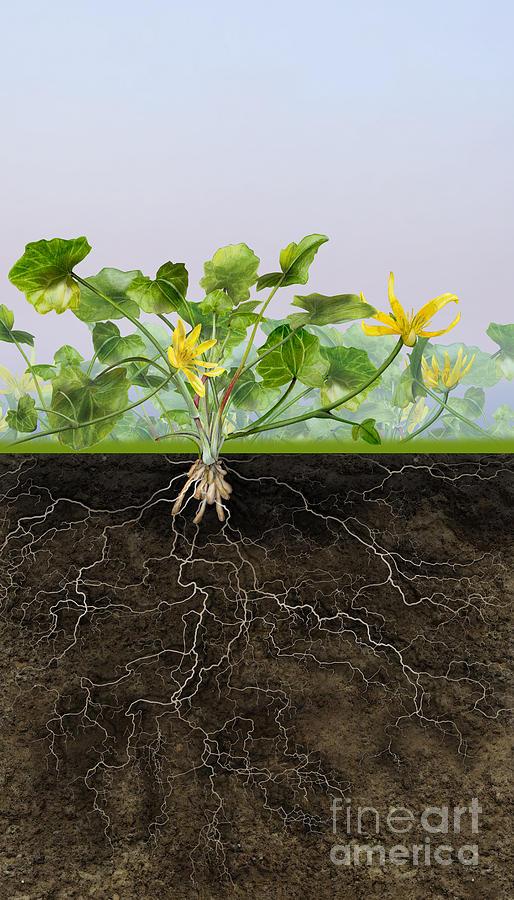 Pilewort Or Lesser Celandine Ranunculus Ficaria - Root System - Painting