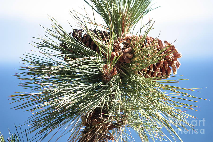 Pine Cones Over Lake Tahoe Photograph