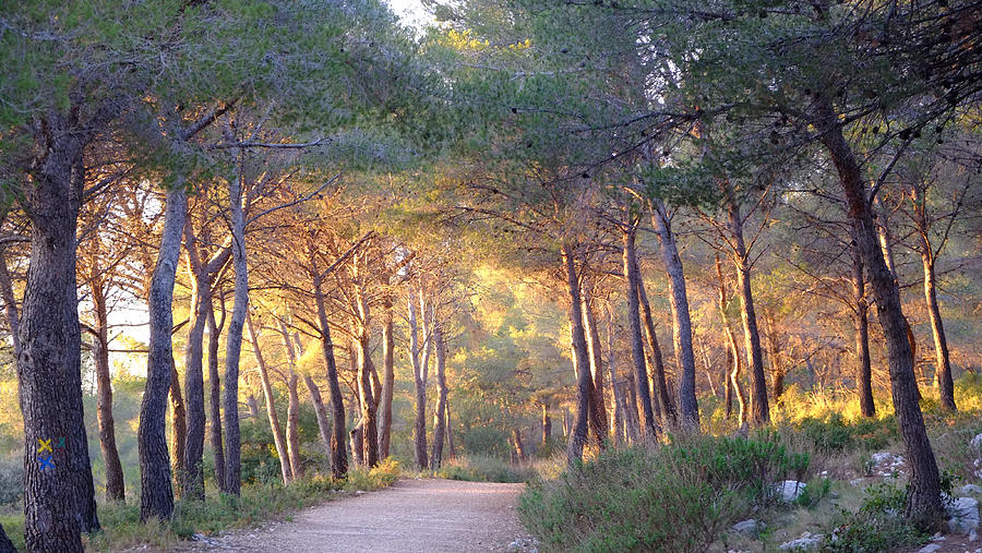 Pine Forest At Sunset Photograph