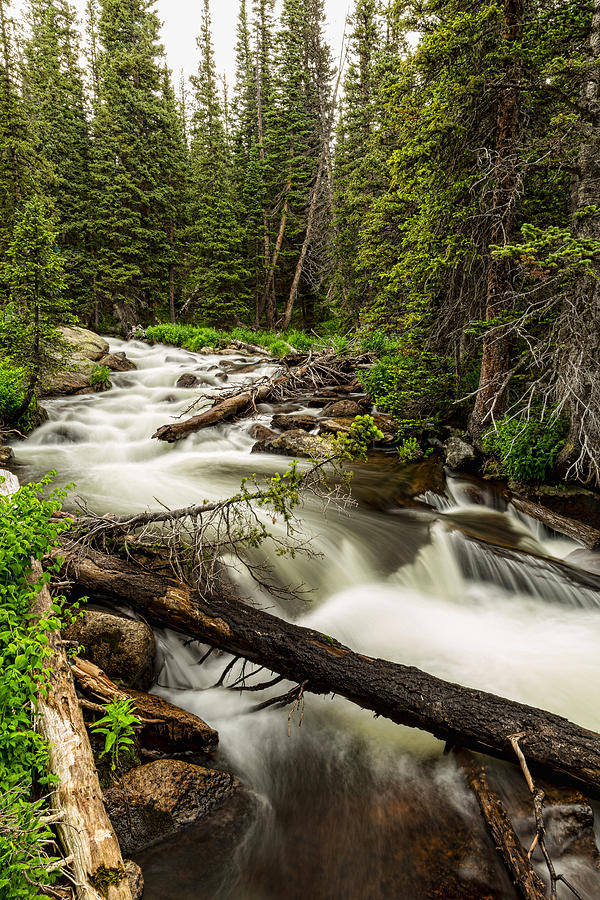 Pine Tree Forest Creek Portrait Photograph