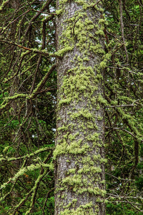 Pine Tree Moss Photograph
