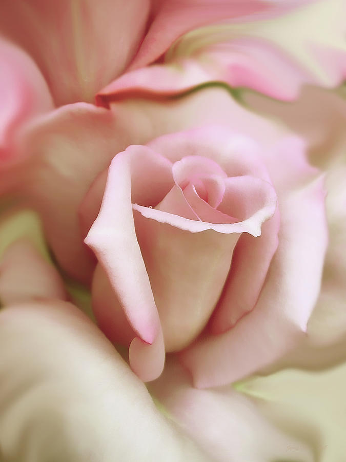 Pink And Ivory Rose Portrait Photograph