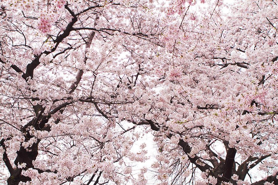 Pink Cherry Blossom Tree Photograph