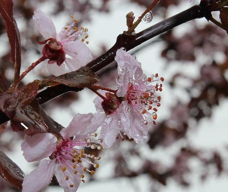 Cherry Blossom Photograph - Pink Cherry Ice by Toni Jackson