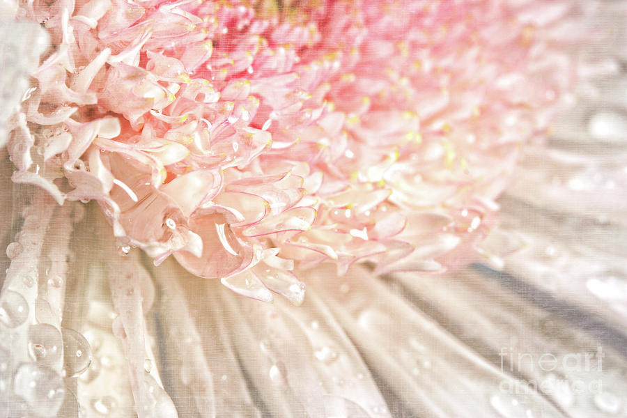 Background Photograph - Pink Chrysanthemum With Antique Distress by Sandra Cunningham