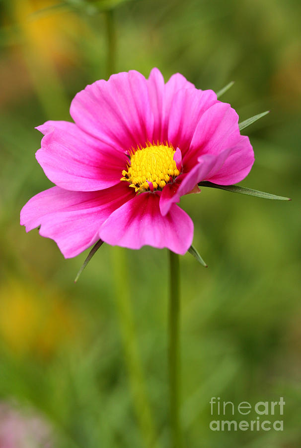 Flower Photograph - Pink Cosmo by Steve Augustin