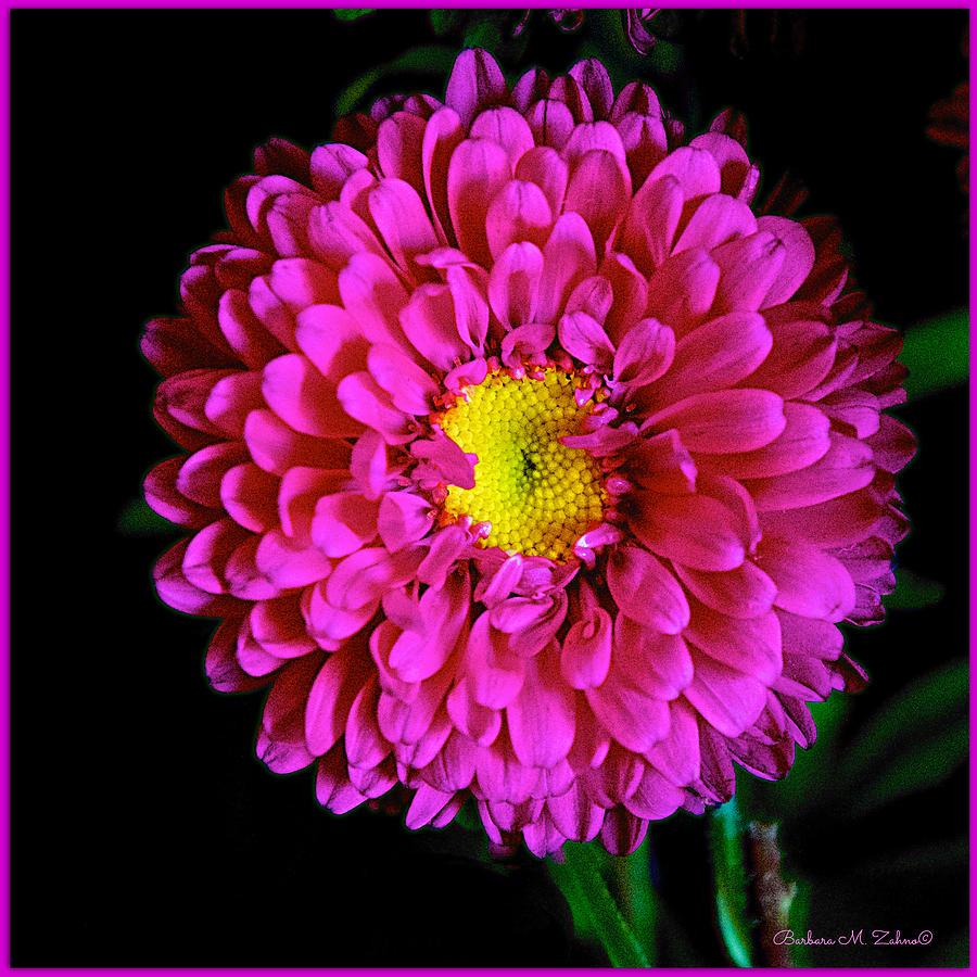 Dahlia Photograph - Pink Dahlia by Barbara Zahno