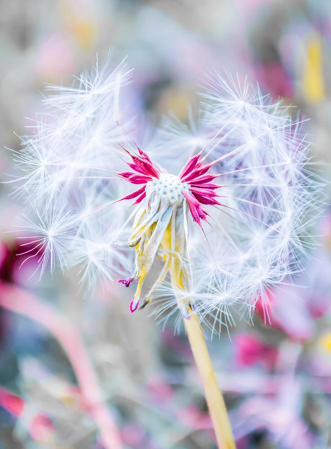 Pink Photograph - Pink Dandelion by Parker Cunningham