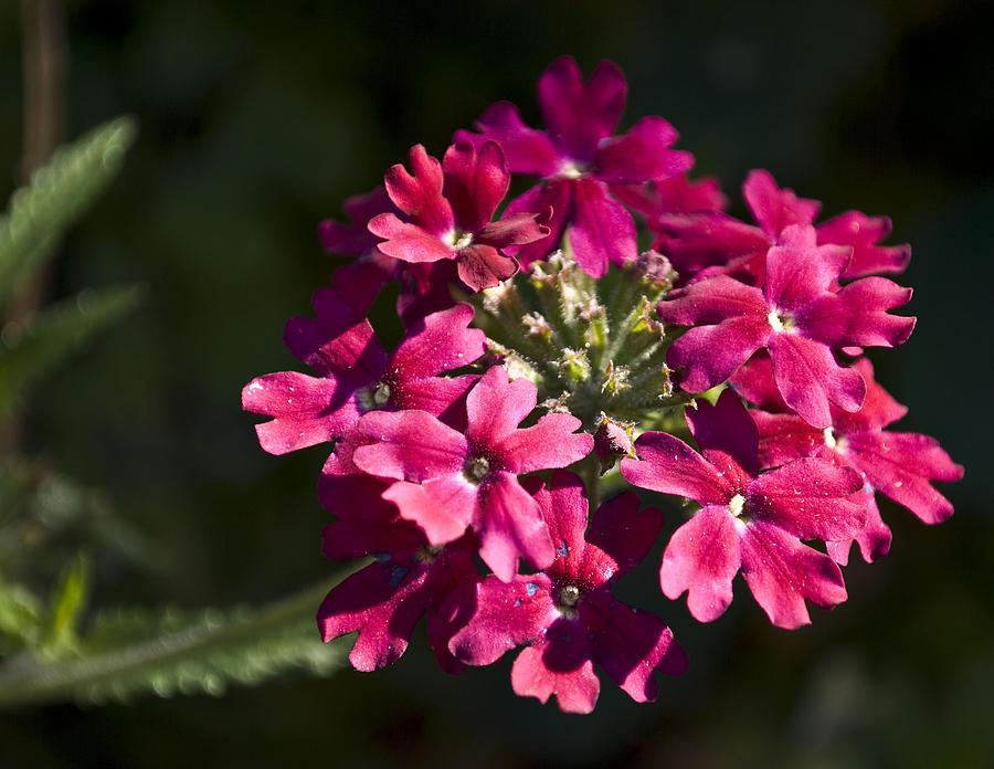 Nature Photograph - Pink Flower by Svetlana Sewell
