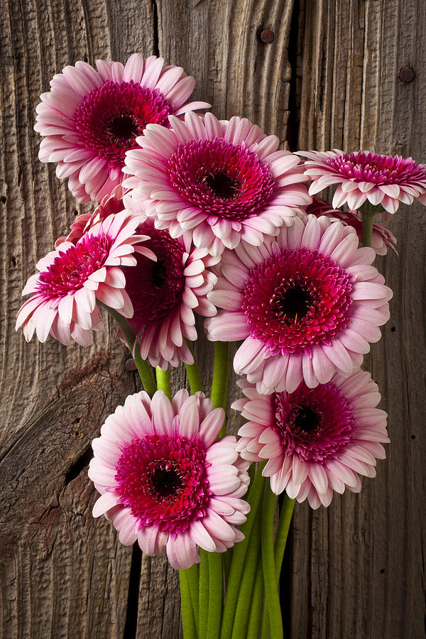 Pink Gerbera Daisies Photograph - Pink Gerbera Daisies by Garry Gay