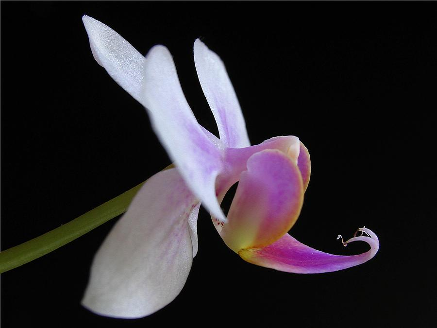 Georgia Photograph - Pink Orchid by Juergen Roth