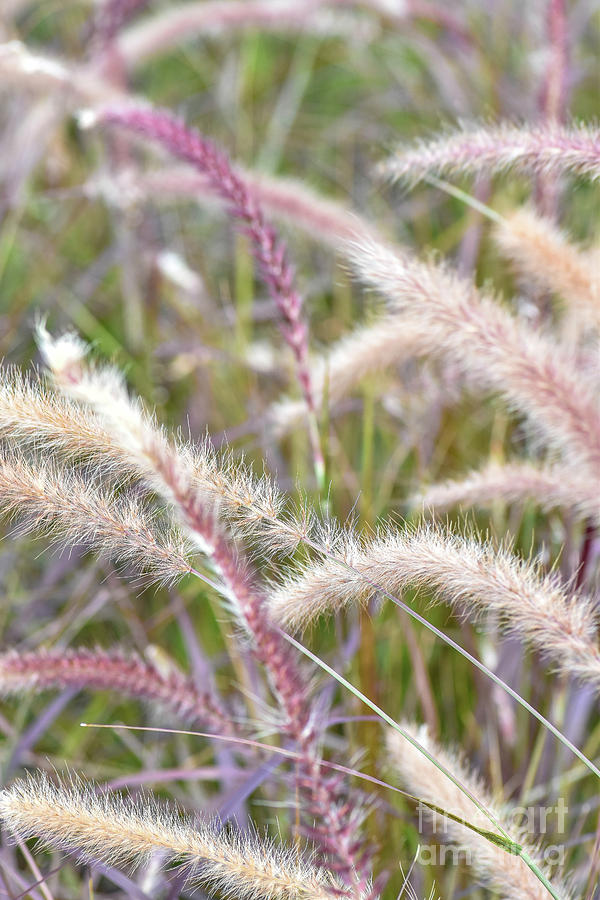Pink ornamental grass photograph by ofer cohen for Pink decorative grasses