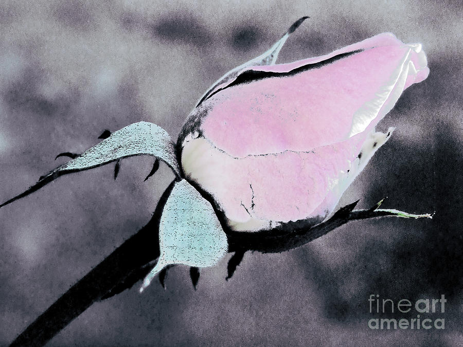 Pink Rose Bud Photograph