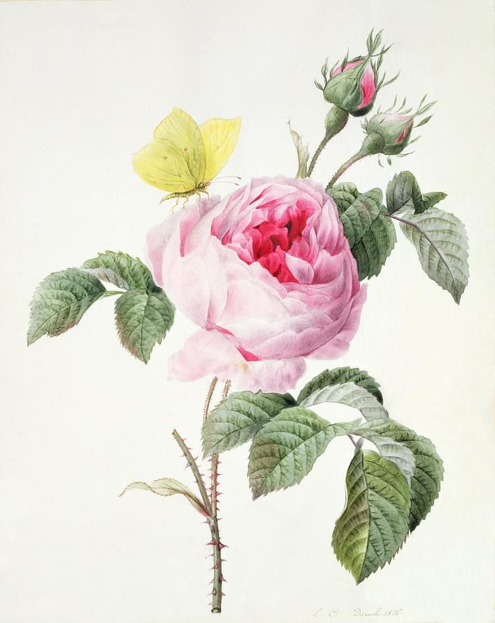 Pink Rose With Buds And A Brimstone Butterfly Painting