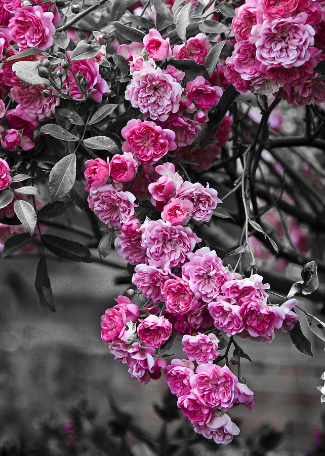 Flower Photograph - Pink Roses by Svetlana Sewell