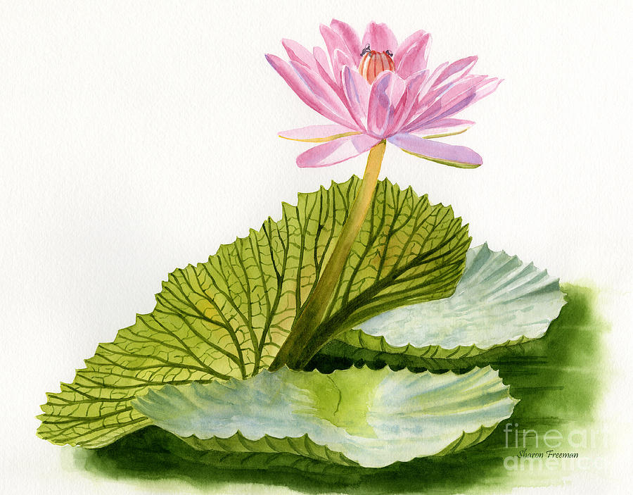Pink Water Lily With Textured Pads Painting by Sharon Freeman