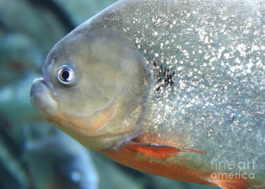 Piranha Photograph - Piranha Tough Guy by Carol Groenen