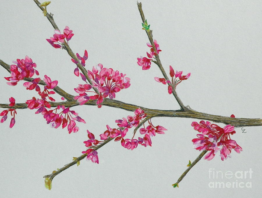 Color Drawing - Plum Blossom by Glenda Zuckerman