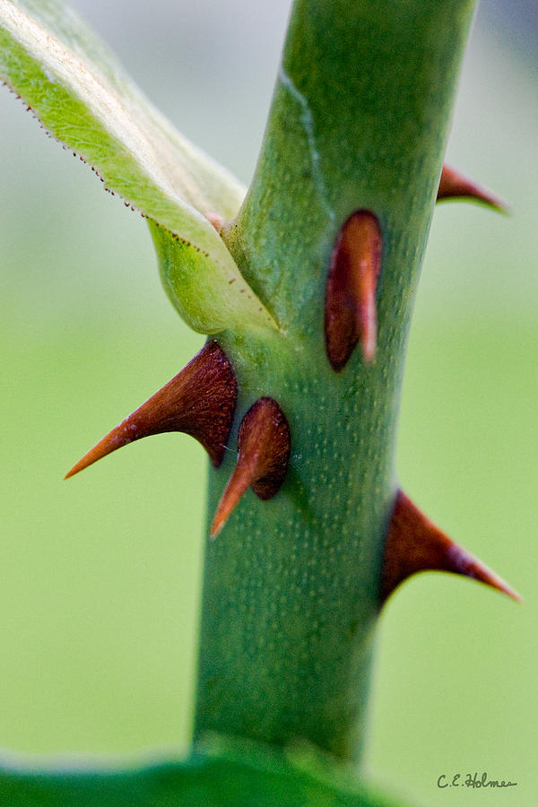 Thorns Photograph - Pointed Personality by Christopher Holmes