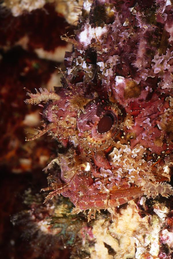 Sea Of Cortez Photograph - Poisnous Stone Fish, Scorpaena Mystes by James Forte