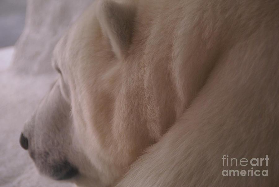 Polar Bear Photograph - Polar Dream by Linda Shafer